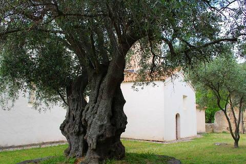 olive trees at saint restitude chapel
