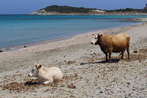 cows on Barcaggio beach