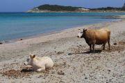 barcaggio-cows
